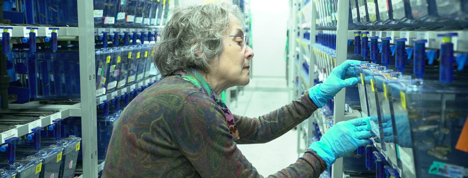 UO biologist Judith Eisen examines a rack of zebrafish tanks